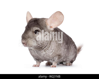 Cute grey Chinchilla, standing side ways. Isolated on white background. - Stock Photo