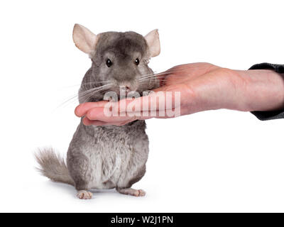 Cute grey Chinchilla, standing facing camera on hind paws, leaining on human hand. Isolated on white background. - Stock Photo