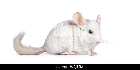 Cute white Chinchilla, standing side ways. Isolated on white background. Long tail behind body. - Stock Photo