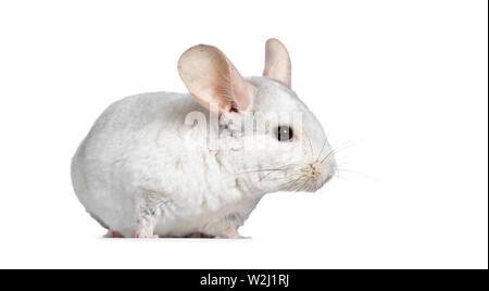 Cute white Chinchilla, standing side ways. Isolated on white background. - Stock Photo