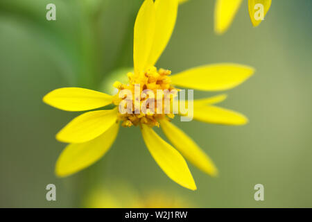 A tiny yellow flower with stamens full of pollen. Window into world of ultra macro, mountain tundra higher Arctic circle - Stock Photo