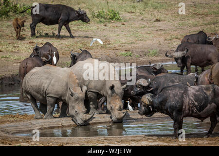 Southern white rhinoceros drinking in middle of buffalo herd in Kruger National park, South Africa ; Specie Ceratotherium simum simum family of Rhinoc - Stock Photo
