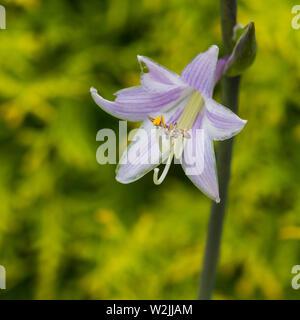 A macro shot of a blue hosta bloom. - Stock Photo