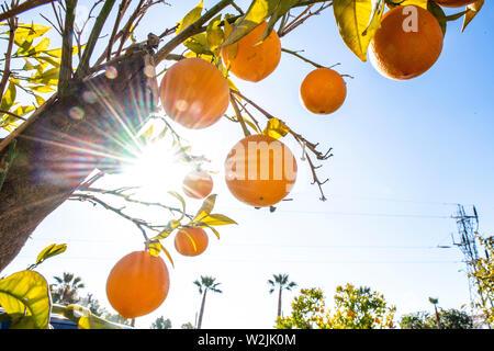 Marbella Themenbild Sommer, Orangen   Orangen an einem Orangenbaum vor blauem Himmel bei strahlendem Sonnenschein. - Stock Photo