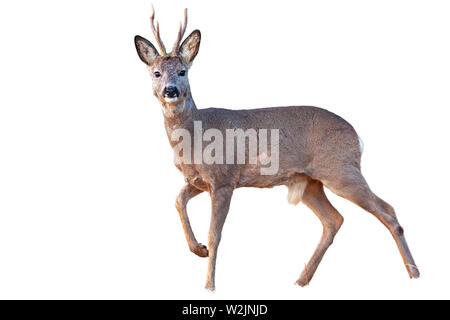 Roe deer buck in winter coating with antlers walking isolated on white - Stock Photo