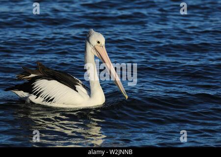 An Australian Pelican, Pelecanus conspicillatus, swimming - Stock Photo