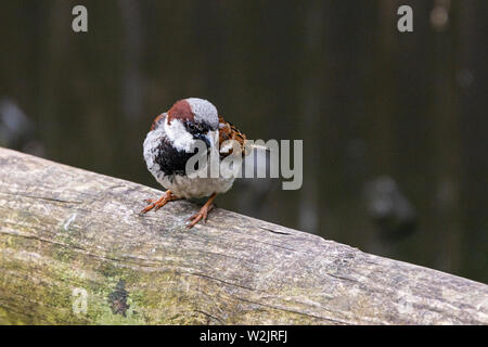 A male house sparrow (Passer domesticus) sitting on a fence - Stock Photo