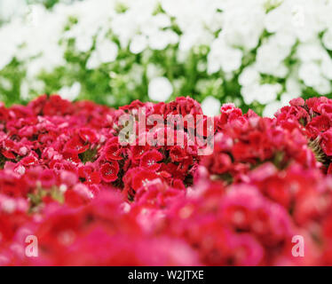 a bunch of Sweet William (Dianthus barbatus) flowers, red, pink - Stock Photo