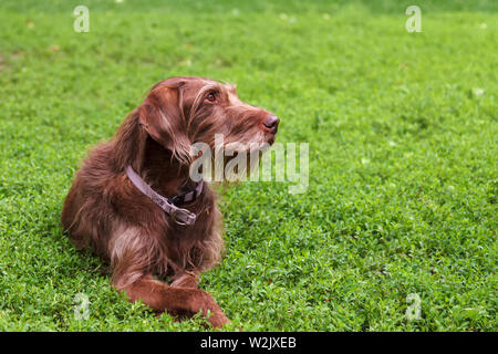 A hunting dog of a breed of drathaar lying on the green grass - Stock Photo