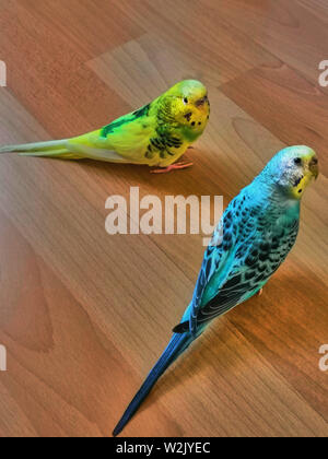 Two budgies are looking right at you sitting on the wooden floor - Stock Photo