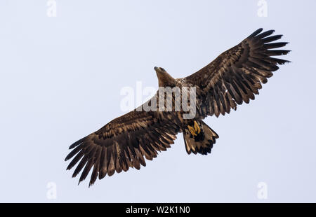 Young White-tailed eagle soars in sky with wide spreaded wings and tail - Stock Photo