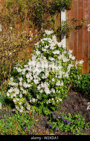 The white flower racemes of Pieris japonica 'Forest Flame' or Pieris floribunda 'Forest Flame' flowering shrub or bush - Stock Photo