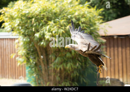 White-tailed eagle flying on the ground - Stock Photo