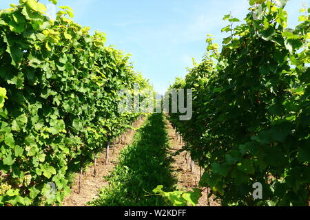 Weinstöcke im Hochsommer in der Nähe von Bühl im Hochsommer - Stock Photo