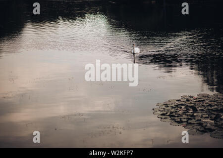 A swan swimming on lake.A lonely swan swimming on lake in daylight. surrounded by water lilies. - Stock Photo