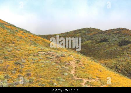 Bright orange vibrant vivid golden California poppies, seasonal spring native plant wildflowers in bloom, misty morning hillside - Stock Photo