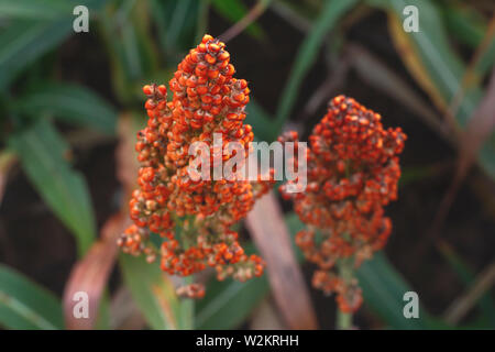 seeds background amazing beautiful images agriculture sorghum cultive - Stock Photo