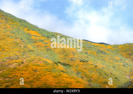 Bright orange vibrant vivid golden California poppies, seasonal spring native plant, wildflowers in bloom, stunning hillside superbloom - Stock Photo