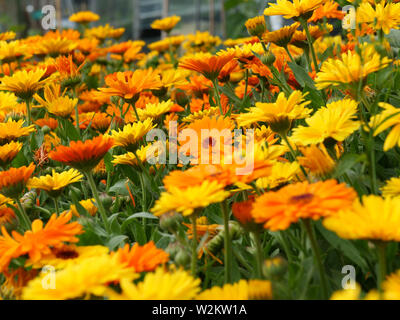 Mass of orange and yellow flowers of Calendula or pot marigold flowering in the garden in summer. - Stock Photo