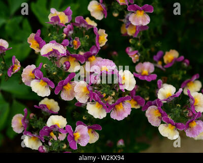 Multi coloured flowering Diascia in the garden. - Stock Photo