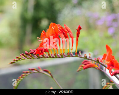 Fiery red flower of garden plant Crocosmia Lucifer, which is very good for cutting. - Stock Photo