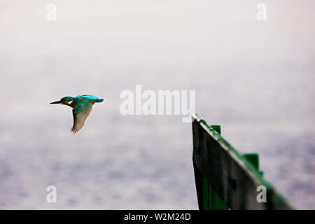A Kingfisher at Dal Lake, in Srinagar, Kashmir, India. May 28, 2008. Famous for its natural beauty, Kashmir refers to the Indian-administered state of Jammu and Kashmir consisting of the Kashmir valley, Jammu and Ladakh; the Pakistani-administered provinces of the Northern Areas and Azad Kashmir, and the Chinese-administered region of Aksai Chin. - Stock Photo