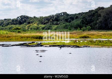 Many alligators predators in deep hole famous alligator lake pond in Myakka River State Park, Sarasota, Florida - Stock Photo