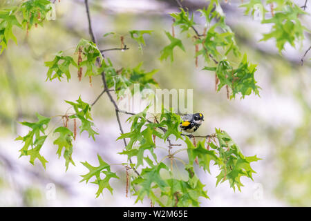 Green oak tree with Yellow-Rumped Male Myrtle Warbler bird with yellow color and bokeh background in Virginia perched on branch - Stock Photo