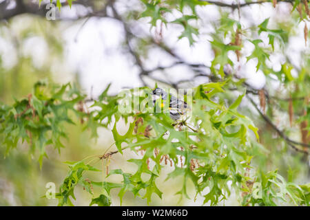 Green oak tree with one Yellow-Rumped Male Myrtle Warbler bird with yellow color and bokeh background in Virginia perched on branch - Stock Photo