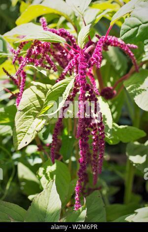 Amaranthus caudatus (love lies bleeding) amaranth, close up. - Stock Photo
