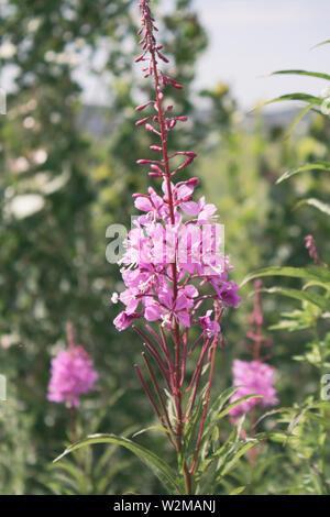Rosebay willowherb. Chamaenerion.  Fireweed angustifolius. Selective focus. - Stock Photo