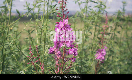 Rosebay willowherb. Chamaenerion.  Fireweed angustifolius. Pink flowers. - Stock Photo