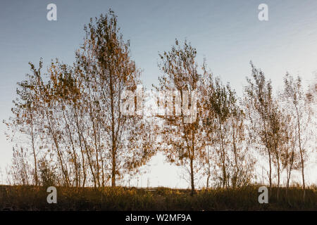 Reflection of birch trees in water - Stock Photo