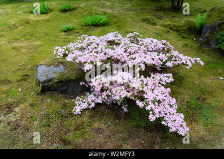 Close-up of a beautiful blooming rhododendron bush with pink petals on moss covered ground in a Japanese garden. - Stock Photo