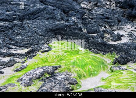 Black Pahoehoe lava textures contrasting with green sea weed, Isabela Island, Galapagos Islands, Ecuador. - Stock Photo