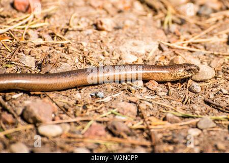 European blindworm on a way. - Stock Photo