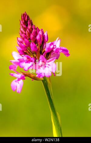 Pyramidal Orchid, German wild orchid. - Stock Photo