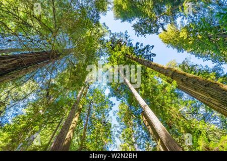 Green Towering Redwoods National Park Newton B Drury Drive Crescent City California. Tallest trees in World, 1000s of year old, size large buildings. - Stock Photo