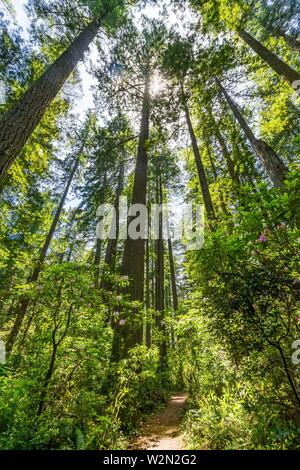 Walking Trail Green Towering Redwoods National Park Newton B Drury Drive Crescent City California. Tallest trees in World, 1000s of year old, size - Stock Photo