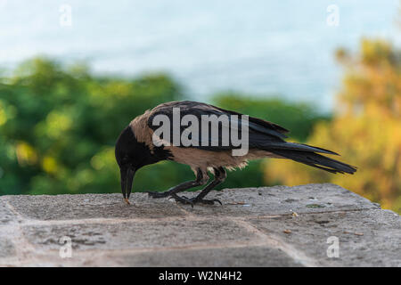 Crow eating small seed on a wall - Stock Photo