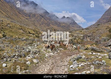 Trekking amongst llamas on the Cordillera Real Traverse, Bolivia. - Stock Photo