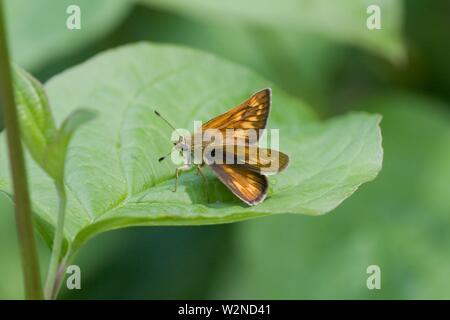 Large Skipper, Ochlodes sylvanus. An orange skipper. Males has a black slash mark on back wings. Wings have checquered pattern. Distinguishing detail - Stock Photo