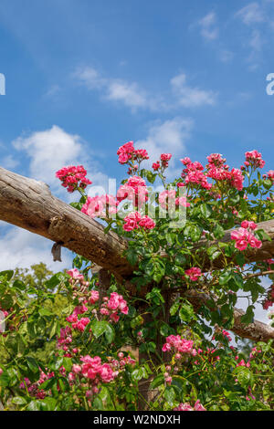 Pretty pink 'American pillar' roses climbing on a wooden pergola flowering against a blue sky on a summer day, Surrey, south-east England - Stock Photo