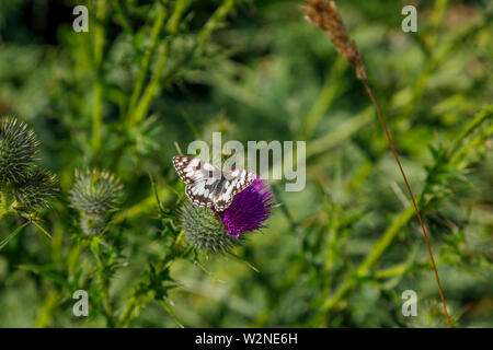 Dorsal view of female Melanargia galathea, the marbled white butterfly, family Nymphalidae, on a purple milk thistle flower head in Surrey, SE England - Stock Photo