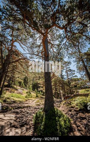 Scot pine in Pyrenees national Park (Hautes-Pyrénées Department, Nouvelle-Aquitaine Region, France) - Stock Photo