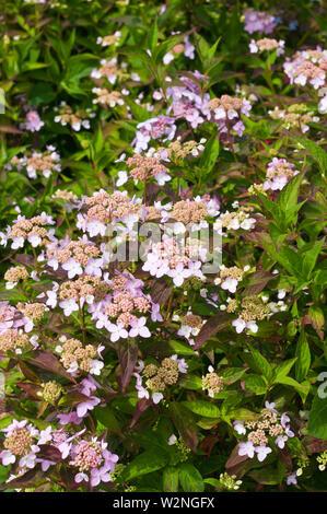 Hydrangea Serrata Tiara - Stock Photo