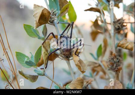 The Namib Desert beetle (genus Stenocara), Brandberg Mountain, Damaraland, Namibia - Stock Photo