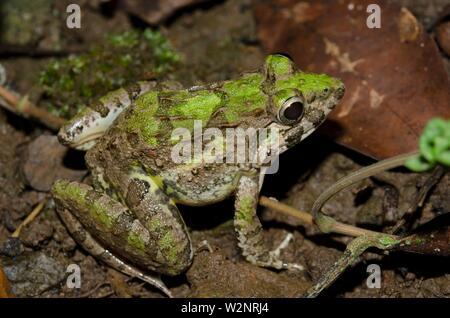 Paddy Frog (Fejervarya limnocharis, Dicroglossidae family aka Boie's Wart Frog, Rice Field Frog, and Asian Grass Frog), Klungkung, Bali, Indonesia. - Stock Photo