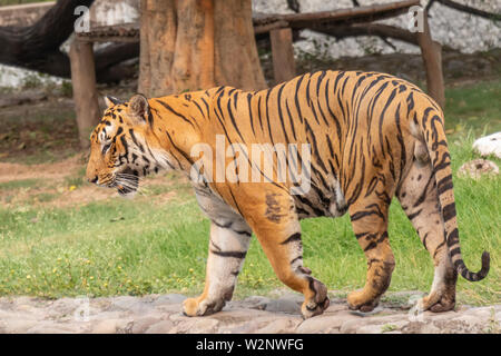 Portrait of a Royal Bengal tiger, looks in aggressive mood. - Stock Photo