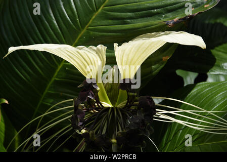 A close up of a beautifully exotic Aisian White Bat Flower.  Photographed at the Botanic Gardens in Cairns, Australia. - Stock Photo